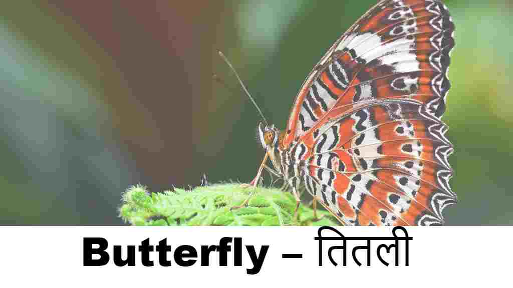 Butterfly – तितली