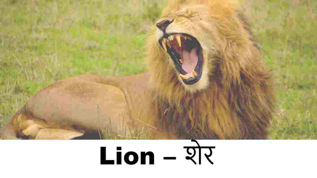 wild animals name in english (Lion )