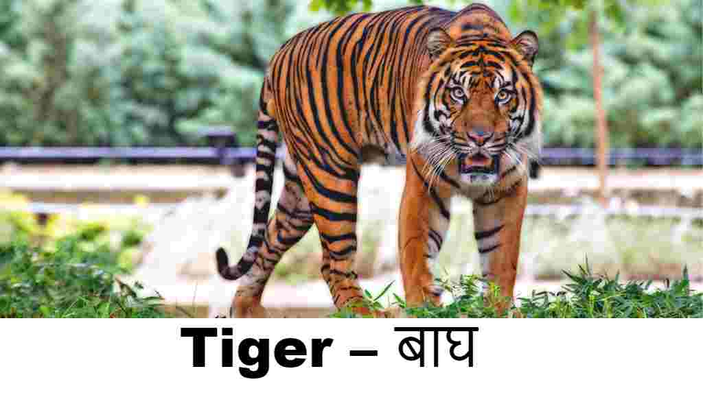 wild animals name in english (Tiger )